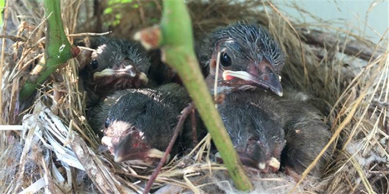 分享我家小白筑巢下蛋孵蛋育雏全过程